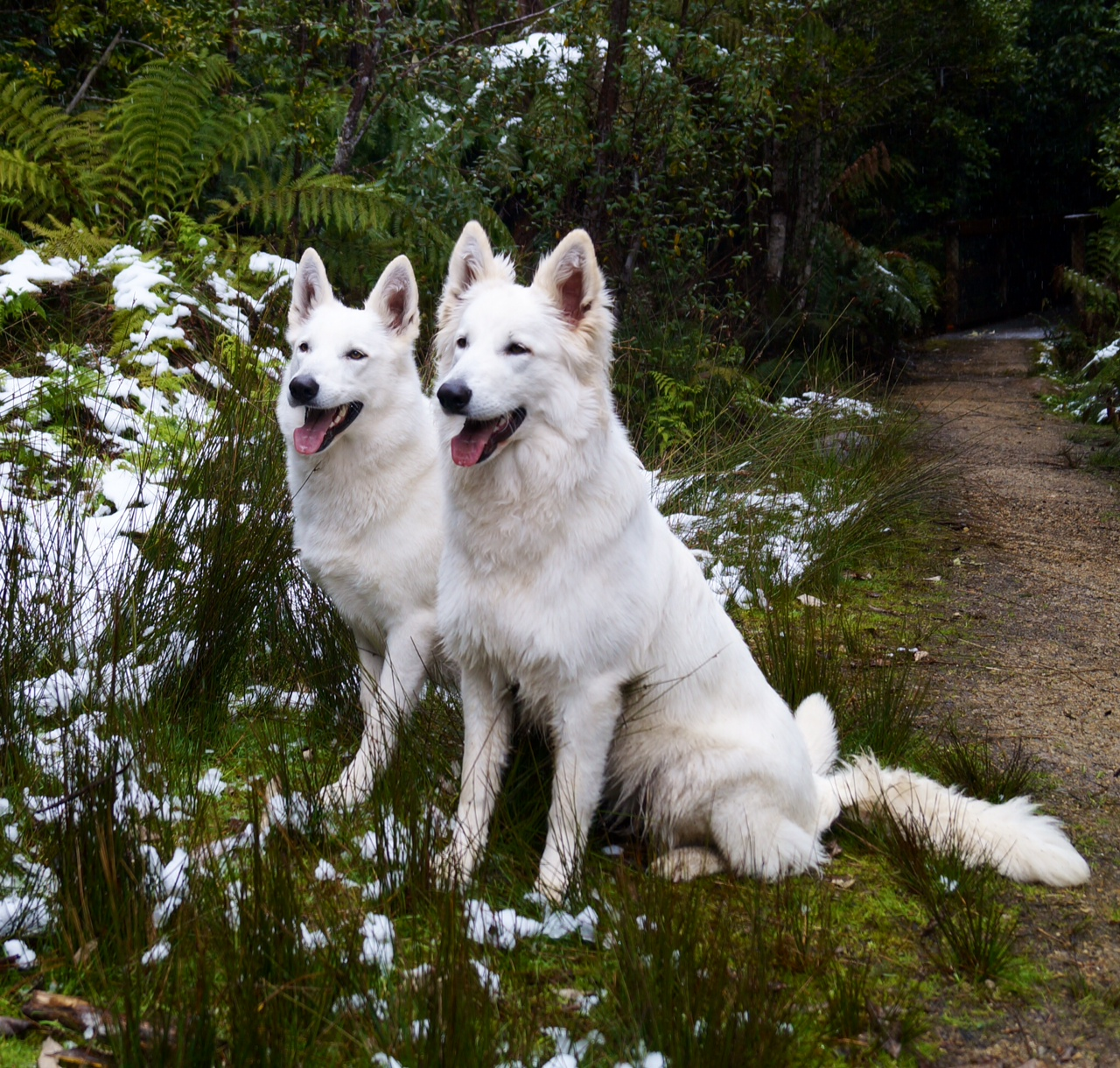 Eiramor White Swiss Shepherd Dogs
